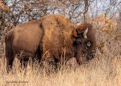 Plains bison (Lindell Dillon) Tags: bison buffalo wildlife nature wichitamountains oklahoma wildoklahoma