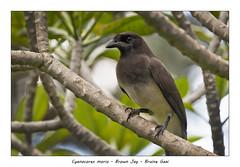 Brown jay (Jan H. Boer, Nature photographer) Tags: cyanocoraxmorio brownjay bruinegaai birds nature wildlife portrait costarica turrúcares mybackyard nikon d500 afsnikkor200500f56e jansphotostream2020