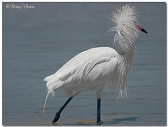 White Morph Reddish Egret (Betty Vlasiu) Tags: white morph reddish egret egretta rufescens bird nature wildlife florida