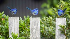 Blue Wrens on the Fence (Tartan Ranga) Tags: blue wren bird birds beauty texture tree trio tiny artphotography australian australia berry farm