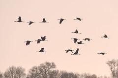 Grues cendrées (Marc ALMECIJA) Tags: outdoor outside oiseau oiseaux bird aves vogel panasonic g9 100400 camargue nature natur wildlife sunrise