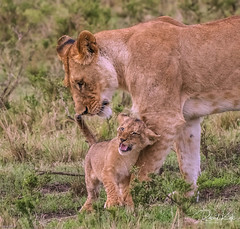 Mother and child reunion! (Jambo53 ()) Tags: crobertkok masaimara kenya 2014 nikond800