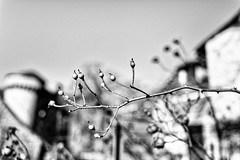 Boutons de roses-château (mifranc91) Tags: 2470 aveyron nikon z6 blackandwhite bokeh bw contraste monochrome noiretblanc ombre