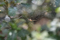Linyphia triangularis (suekelly52) Tags: spider arachnid web webwednesday linyphiatriangularis