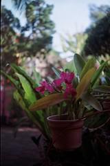 Orchid (adhi anindyo) Tags: minolta a3 film kodak colorplus