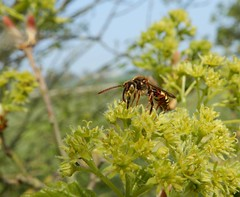 Another Nomada sp! (rockwolf) Tags: nomadabee nomadasp bee abeille hymenoptera insect uptonmagna shropshire rockwolf