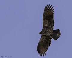 2I1A7604a (lfalterbauer) Tags: vulture canon 7dmarkii nature wildlife ornithology avian outdoor scavenger dslr digital