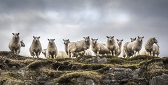 Girls Day Out (SkyeWeasel) Tags: scotland skye landscape animal sheep herd flock agriculture farming crofting ewes herbivore ruminant wool ngc npc