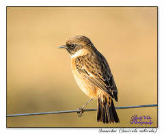 Stonechat (blazingsun2011) Tags: birds burtonmerewetlands flickr naturalworld nature rspb stonechatsaxicolarubicola wildlife