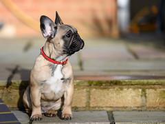 NZ7_3751-Edit (TDG-77) Tags: nikon z7 70200mm f28 vrii french bulldog frenchie dog