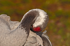 Common Crane @Slimbridge (microwyred) Tags: commoncrane birdwatching wildlife animal animalwing feather nature bird beak outdoors closeup beautyinnature red slimbridge