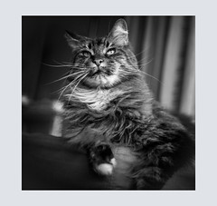 The mighty Bruce (Photodoos) Tags: cat pet animal mainecoon canon 5d black white zwartwit portrait canonnl
