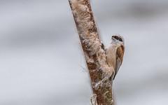 Eurasian penduline tit - Remiz pendulinus - Buidelmees (cradenborg) Tags: c cceradenborg birdwatching buidelmees clements eurasianpendulinetit nature openbaar outdoor p paridae passeriformes pendulinetit public remizpendulinus wildlife zangvogels mezen ©ceradenborg