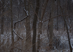 with trees, by the vine, snowing, Somers, WI, USA, 1-11-20 (wbhmatthies) Tags: with trees by vines branches trunks space snow snowstorm telephoto lens forest photopoem panasonic panasonics1 gcs1 captureonepro20 wilhelmmatthies usa wisconsin