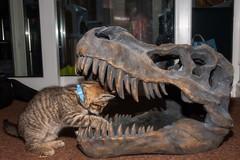Open Wide (Evoljo) Tags: kitten cat dentist mouth teeth dinosour pussy looking nikon d500