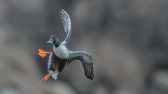 course correction (Paul McGoveran) Tags: windermere basin nikon d500 500mm f4 bird duck northern shoveler ontario hamilton bif nature