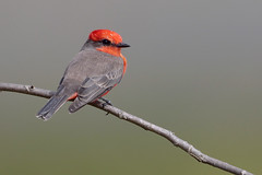 Vermilion FLycatcher (Greg Lavaty Photography) Tags: vermilionflycatcher pyrocephalusobscurus texas october brazosbend statepark ftbendcounty birdphotography outdoors bird nature wildlife