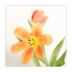 Spring Color (macplatti) Tags: xt2 xf1655mmf28rlmwr macro makro details small klein color farbe bokeh tulips tulpe zwiebelgewaechs springtime fruehling orange green gruen vorarlberg austria