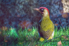 European Green Woodpecker (Picus viridis) (JordanNaturePht) Tags: bird nature birds nikon wildlife birding birder greenwoodpecker 200500mm d7200 green woodpecker european