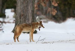 The Big Yawn --- Das große Gähnen (Walkuere123) Tags: coyote canislatrans animal snow yawning gähnen tree nikonz6 afsnikkor300mmf4epfedvr