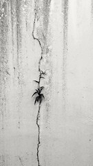 015/366: the bright side - where there's a crack (phone photography) (Fille.de.Lumière) Tags: cracks crackinthewall outofthecrack imperfection imperfect lifeinanimperfectworld monochrometexture texturesandpatterns texture wall interestingwalls 366 365 project365 project366 monochromatic monochromeworld monochrome monochromemonth