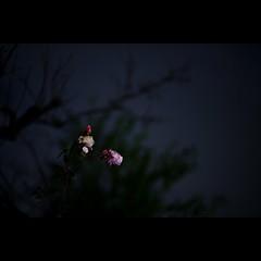 Night # 4 (alleys) Tags: night 85mm 8512 flower