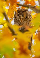 Waldohreule juckt die Nase (normen.nikon) Tags: d4 200500 nikon wildlife owl eule greif vogel bird tier natur