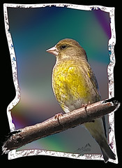 IMGL6434  Greenfinch artistic (SØS'Art) Tags: art artistic filterforge photoshop photomanipulation digitalart solveigøsterøschrøder nature colors bill birds danmark draw eyes finches finker fugle grøniriskeuropeangreenfinchcarduelischloris natur sjælland utterslevmose yellow 100views 300views 500views many thanks