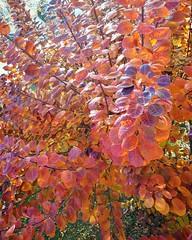 my favorite tree... (angelinas) Tags: smoketree tree colorful leaves pretty mothernature colorburst arbelo arbre feuilles foglie nature natureza natura