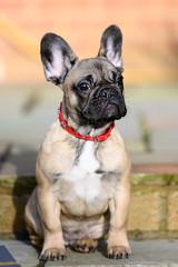NZ7_3750-Edit (TDG-77) Tags: nikon z7 70200mm f28 vrii french bulldog frenchie dog