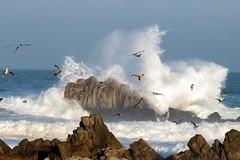 Seagull Gaggle (Kristen Fletcher Photography) Tags: coastal coast sea seagull seashore rockyshore rockycoast seabird seabirds sealife pacificgrove montereybay california waves oceanwaves crashingwaves