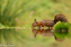 Red squirrel in reflection,.... (Hans Viveen) Tags: redsquirrel rodeeekhoorn reflectie reflection weerspiegeling spiegelbeeld mirrorimage forest bos woods arjantroost hansviveen wildlife naturephotography natuurfotografie wild