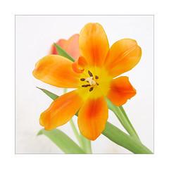 Curly (macplatti) Tags: xt2 xf1655mmf28rlmwr macro makro details small klein color farbe bokeh tulips tulpe zwiebelgewaechs springtime fruehling orange green gruen vorarlberg austria feeling sensitive sensation