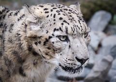 focused (Mostly Tim) Tags: snowleopard leopard bigcat