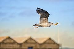 El desayuno de la gaviota (sairacaz) Tags: galicia gaviota estrellademar seagull vigo ave mar sea desayuno breakfast sony 70200mm sonyfe70200mmf4goss