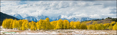 Teton Gold Aspen panorama (geospace) Tags: greateryellowstone grandteton fall aspen gold