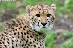 Cheetah - Allwetterzoo Munster (Mandenno photography) Tags: animal animals cat cats cheetah bigcat big dierenpark dierentuin dieren duitsland germany ngc nature natgeo natgeographic zoo munster allwetterzoomunster