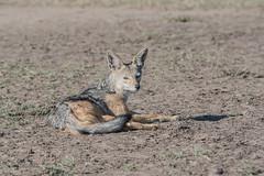 Black-backed Jackal dozing (Tris Enticknap) Tags: africa kenya blackbackedjackal jackal masaimara masaimaranationalreserve canismesomelas