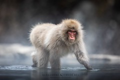 Snow Monkeys (Alexandre & Chloé Bès - Waitandshoot Photography) Tags: canon exterieur nature forest outdoor animal extérieur winter snow wind japon hokkaido neige close japan monkey singe source chaude portrait eyes drink water white dark black walking