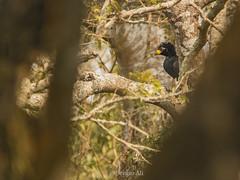 Muitú entre árboles... (Sergio Ali - Naturaleza en imágenes) Tags: muitú craxfasciolata reservaguaycolec formosa argentina bird wild aves