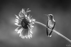Summer in Black & White (TJN19) Tags: blackwhite hummingbirds hummingbird bird birds flowers summer republicwa blackandwhite