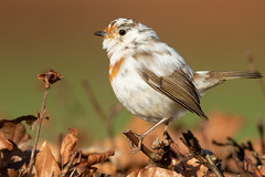 leucistic european robin - erithacus rubecula (carlanthonytaylor) Tags: bird birds birding birdwatching wildlife wild nature ngc natural nohide canon canon7dmkii leucistic cannockchase staffordshire