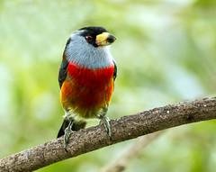 IMG_7196  Toucan Barbet, Ecuador (ashahmtl) Tags: toucanbarbet bird songbird barbet semnornisramphastinus refugiopazdelosaves pichinchaprovince ecuador