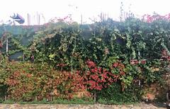 Autumn Scene (RobW_) Tags: autumn scene freddiesbar tsilivi zakynthos greece monday 25nov2019 november 2019