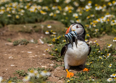 Atlantic puffin (ian._harris) Tags: nikon d750 tamron g2 150600 wilde animals naturezoom telephoto july 2019 summer britain great gb uk united kingdom outside outdoor day camera photo photography photograph photographer picture capture image snap shot flickr visit visitor wildlife wild nature natur naturephotography life naturaleza wales skomer puffin sand daisy eels bird sea sun
