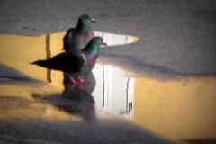 fuoco sui riflessi (fotomie2009) Tags: piccione pigeon focus reflection riflesso 2 two due water acqua bird uccello fauna selective selettivo selectiv yellow pozzanghera