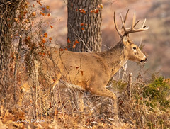 Winter Whitetail (Lindell Dillon) Tags: winter buck deer whitetail wildlife nature wichitamountains oklahoma wildoklahoma