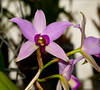 Laelia anceps #1 species orchid 12-19