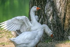 (Quintessenza msb) Tags: geese goose animal bird