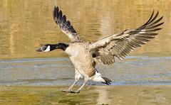 Canada Goose (jt893x) Tags: bif bird brantacanadensis canadagoose d500 goose jt893x nikon nikond500 sigma sigma150600mmf563dgoshsms waterfowl